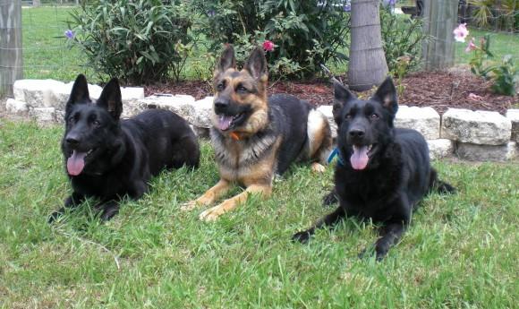 Dog Training By Dennis Dalia