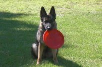 4 Important things you must know about owning a German Shepherd