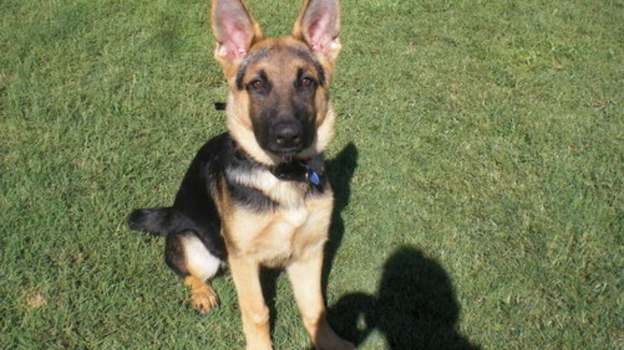 Leash Training A Four Month Old German Shepherd Puppy,Roxanne