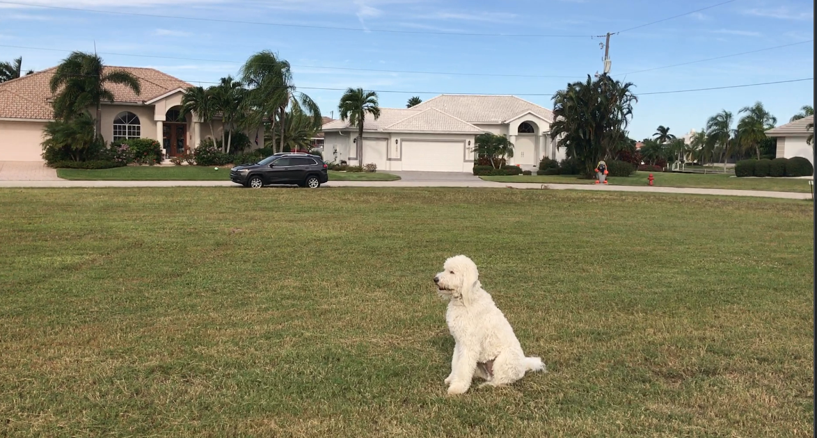 obedience training for goldendoodle